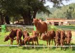 Red Sindhi Calves Born Through Embryo Transfer Technology
